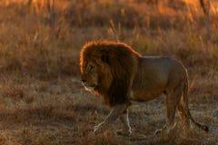 Pride of lions in kenya stock photos