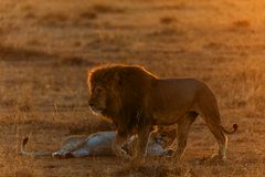 Pride of lions in kenya. A pride of lions in kenya royalty free stock images