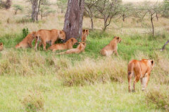 Pride of lions. Laying in grass in Africa Royalty Free Stock Photos