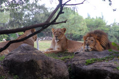 Pride of lions Stock Images