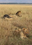 Pride of lions in the Masai Mara Stock Photo