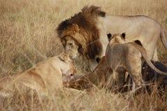 Pride of lions in the Masai Mara. Pride of lions eating meal in the Masai Mara Kenya royalty free stock image