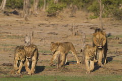 Pride of Lions on the move Stock Image