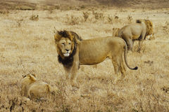 Pride of lions in the Ngorongoro crater (Tanzania). A pride of lions caught in the savannah of Ngorongoro crater (Tanzania Stock Image