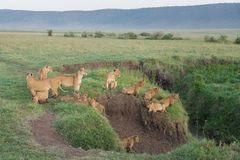 Pride of Lions in the Ngorongoro Crater, Tanzania. Large Pride of Lions in the Ngorongoro Crater, Tanzania Stock Photography