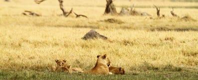 Pride of Lions Stock Photos