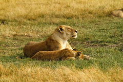 Pride of Lions Royalty Free Stock Image