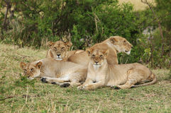 A Pride of African Lions  Royalty Free Stock Photos