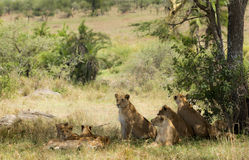 Pride of lions resting Royalty Free Stock Image