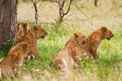 Pride of lions. Lions resting in shade of tree Royalty Free Stock Image
