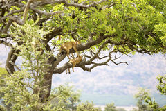 Pride of lions rests in tree Stock Photo