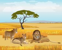 Pride lions in the savanna vector illustration