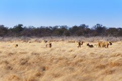 Pride of lions in the savannah, in Namibia. Africa, concept for safari travel and travel in Africa royalty free stock photos