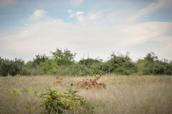 Pride of lions in the savannah Royalty Free Stock Photography
