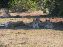 Pride of Lions in the shade. Of Addo National Park, South Africa stock photos