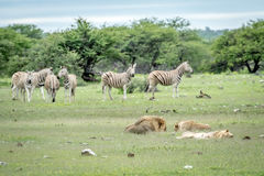 Pride of Lions sleeping in front of Zebras. Pride of Lions sleeping in front of a herd of Zebras in the Etosha National Park, Namibia royalty free stock photos