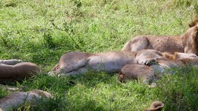 Pride Of Lions Sleep In Day And Waving Their Tails And Repel Flies And Parasites. Pride lions sleeping in shadows on heat day after hunting, a lot of flies and stock video footage