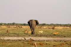 Pride of Lions stand off with big bull elephant. On safari we witnessed two African lioness stalking a baby elephant until mum came to the rescue Royalty Free Stock Photos