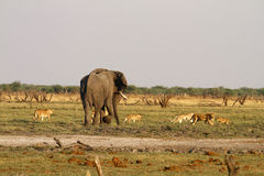 Pride of Lions stand off with big bull elephant Stock Images