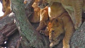 Pride of lions on tree