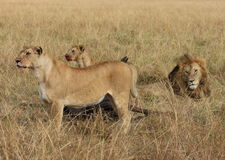Pride of lions watch Stock Image