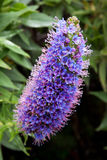 Pride of madeira - Echium candicans Stock Images