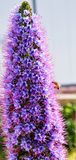 Pride of Madeira. Flower with a bee performing pollination drought tolerant plant stock photos
