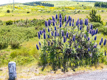 Pride of Madeira Flowers in the Mountains in the north of the Island of Madeira Stock Photos