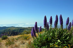Pride of Madeira. In the mountains royalty free stock photo