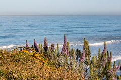 Pride of Madeira Plant with Ocean Background royalty free stock images