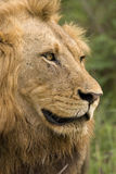 Pride male lion. Portrait of male lion taken from the side Royalty Free Stock Photo