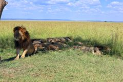 Pride of male lion resting at the masai mara Stock Photography