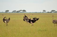 A Pride of Ostrich Royalty Free Stock Photos