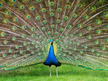 Pride Peacock. Showing his feathers royalty free stock photo