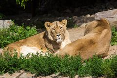 Pride rests before the hunt, young male Asian lion and female Stock Image