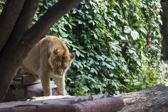 Pride rests before the hunt, young male Asian lion Royalty Free Stock Photography