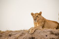 African lioness. The pride of the Serengeti. The African lion depicted in the golden sunset royalty free stock photo