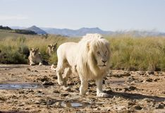 White Lion male stalking with females looking on in the background stock photos