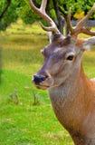 Prideful calm deer. Captive-held deer with yearning eyes Royalty Free Stock Image
