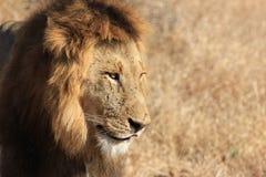Prideful lejon Arkivfoton