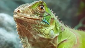 Prideful lizard in the pet store Stock Photography