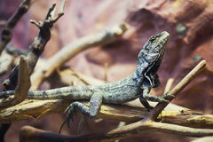 Prideful lizard Stock Photography