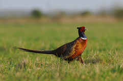 Pridefulness. The photo demonstrating a pheasant was taken in Hungary Royalty Free Stock Photo