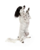 Prier de chien de race de mélange de Papillon Images stock