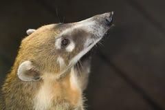 Prier de Coati Photo libre de droits