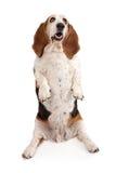 Prier de crabot de chien de basset Images libres de droits