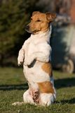 Prier le chien terrier de Jack Russel photos libres de droits