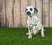 Prier le chiot dalmatien photos stock