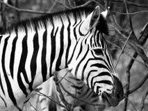 Prifile close-up shot of wild zebra in black and white, Etosha National Park, Namibia, Africa Stock Photo