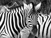 Prifile close-up shot of wild zebra in black and white, Etosha National Park, Namibia, Africa Royalty Free Stock Images